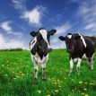friesian-dairy-cows-in-a-pasture