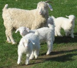 kids n goat